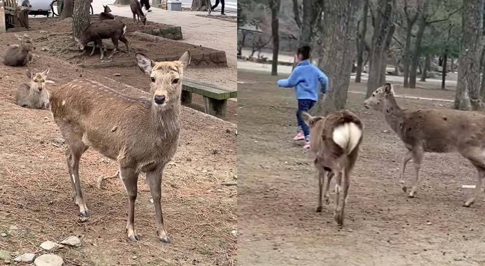 Un ciervo ataca a una niña en un parque de Japón