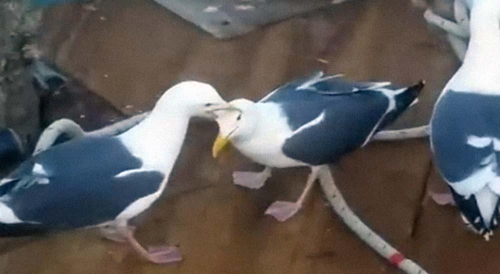 Dos gaviotas pelean por un pescado