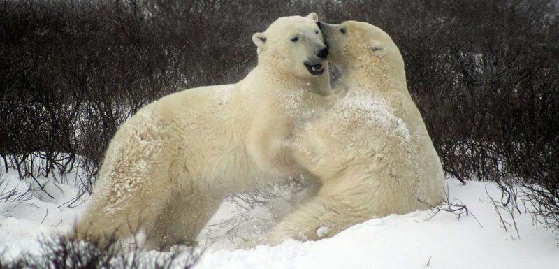 Vídeos de Osos Polares atacando a las personas 1