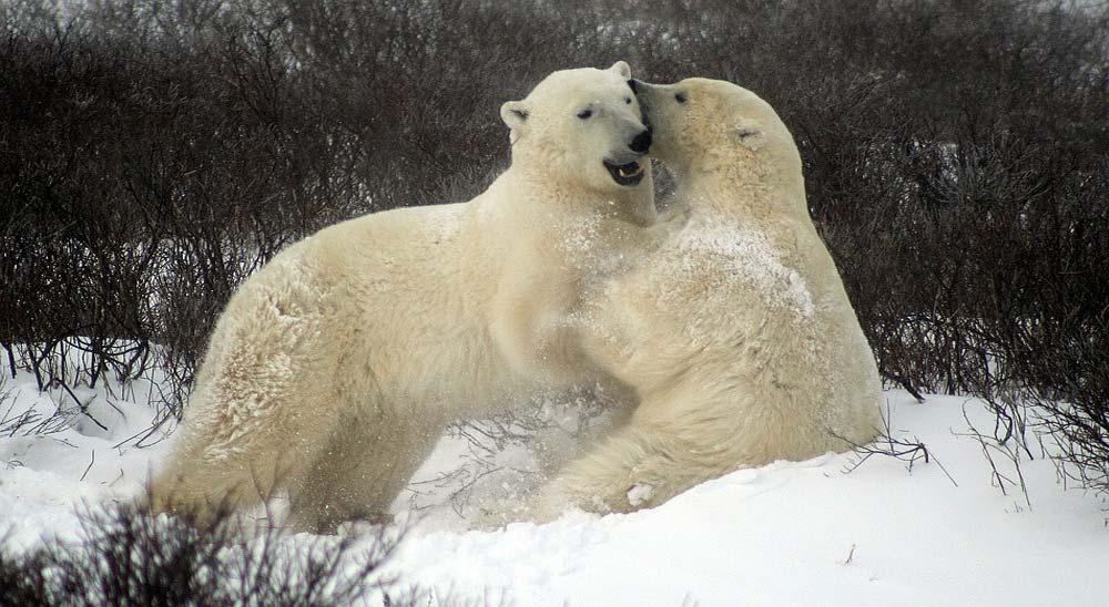 Vídeos de Osos Polares atacando a las personas 4