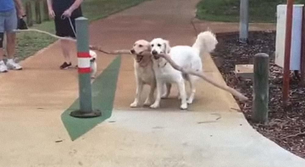 Dos perros trabajan en equipo para llevarse una gran rama