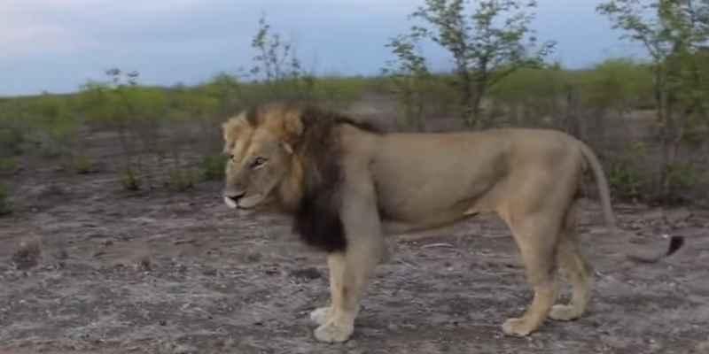León da un susto a los turistas en un safari 3