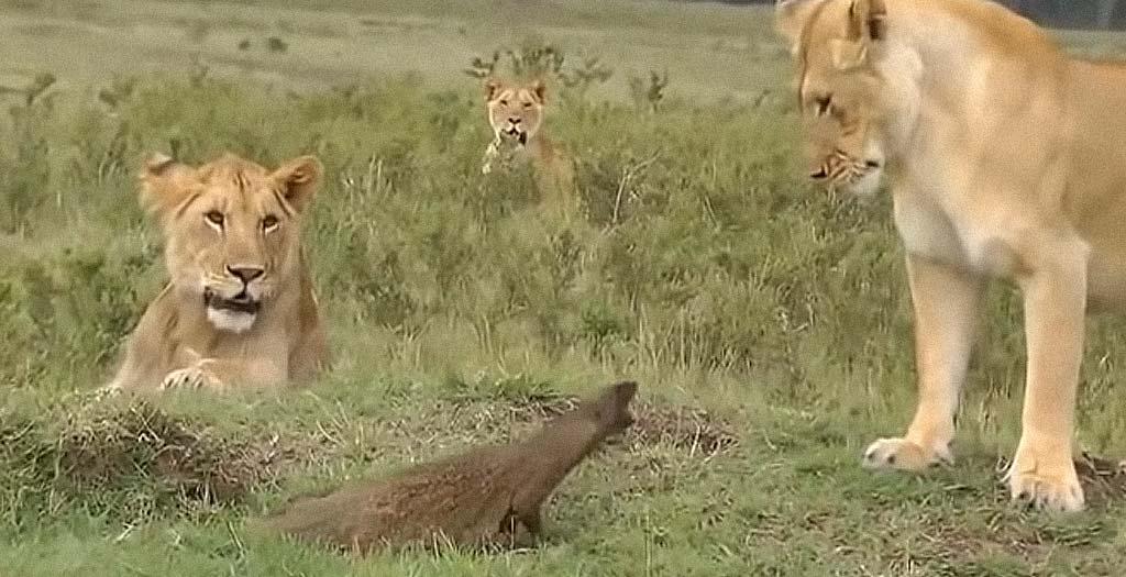 4 Leones contra una pequeña mangosta 2