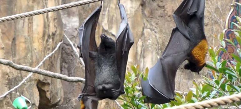 Así hace pis un murciélago 1