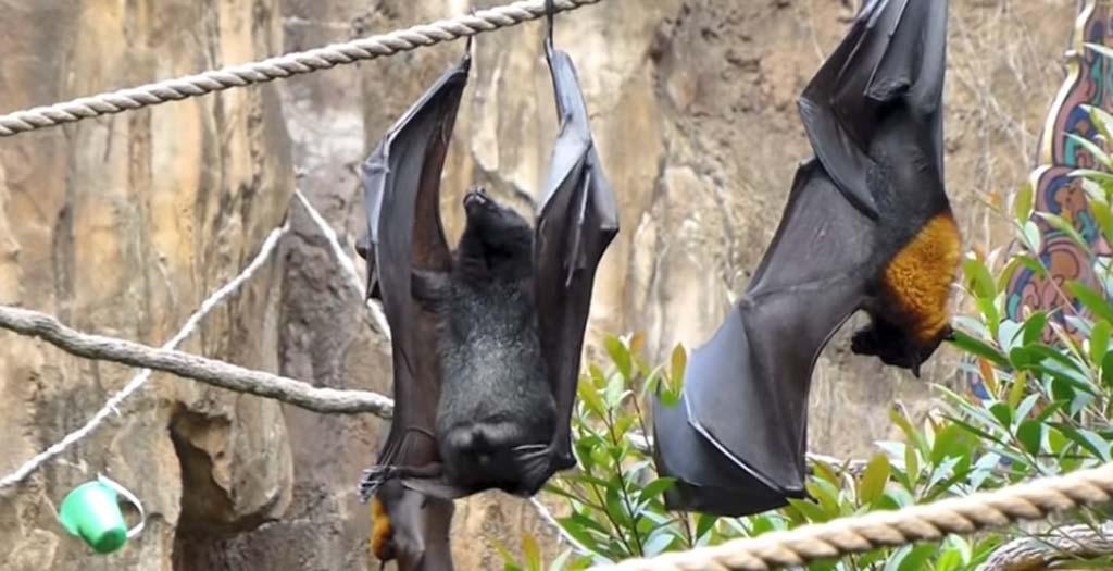 Así hace pis un murciélago