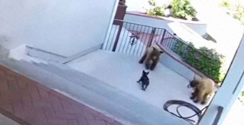 Un pequeño perro bulldog francés se enfrenta a dos osos 4