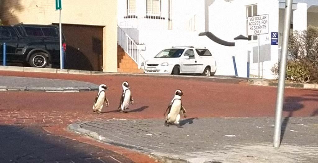 Pingüinos paseando por la ciudad, esto es el fin del mundo 2