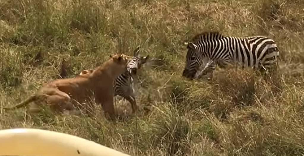 Mamá cebra defiende a su cría del ataque de una leona 12
