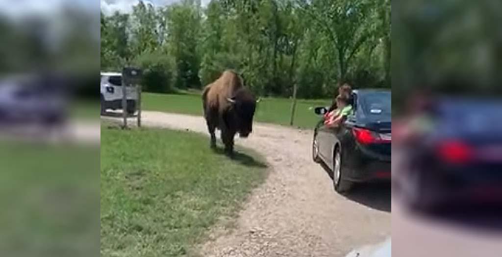 Un bisonte ataca a un niño en un auto-zoo 3
