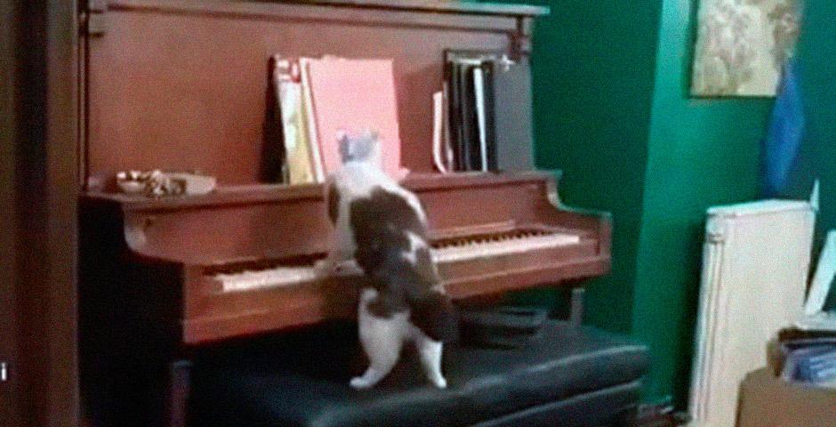 Este gato es capaz de tocar el piano, y bien 4